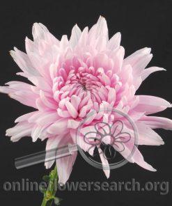 Chrysant Resomee Pearl