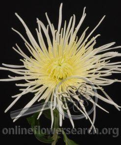Chrysant Spider Super White