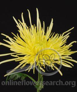 Chrysant Spider Super Yellow