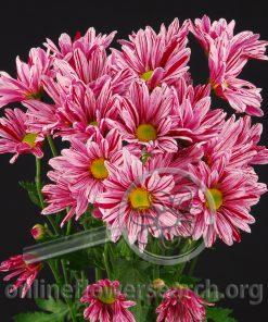 Pompon Artist Pink