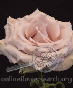 Rose Quicksand