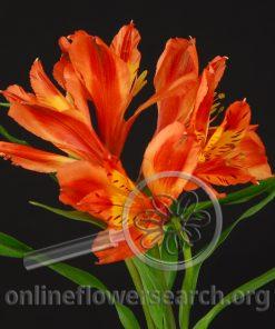 Alstroemeria Orange Queen