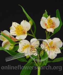 Alstroemeria Sun White