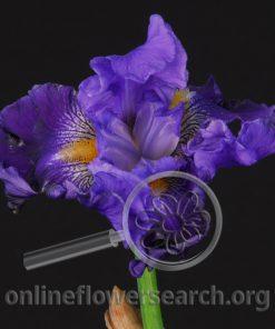 Iris Bearded Blue