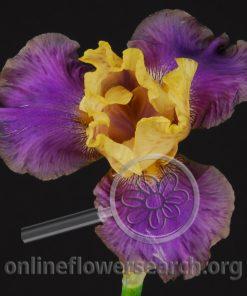 Iris Bearded Purple