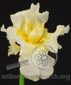 Iris Bearded White