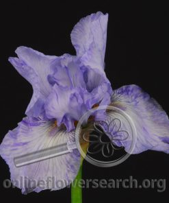 Iris Bearded Light Blue