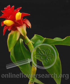 French Kiss (Costus)