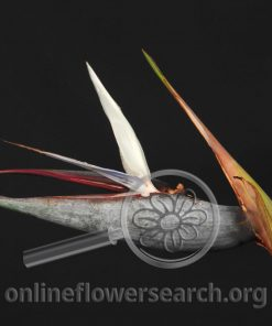 Bird of Paradise - White