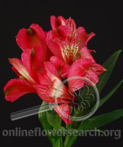 Alstroemeria Cherry Bay