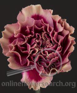 Carnation Dark Tempest