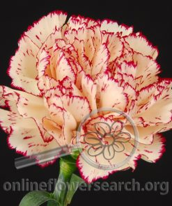 Carnation Antille