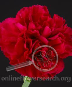 Carnation Dalila
