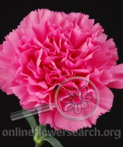 Carnation Agnese