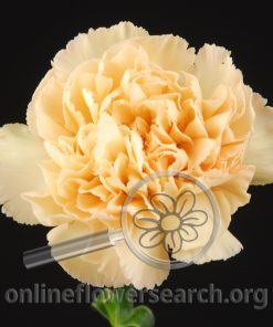 Carnation Centella