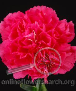 Carnation Cinderella