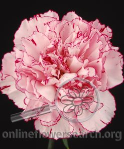 Carnation Amica