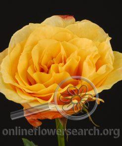 Rose Capriccio+