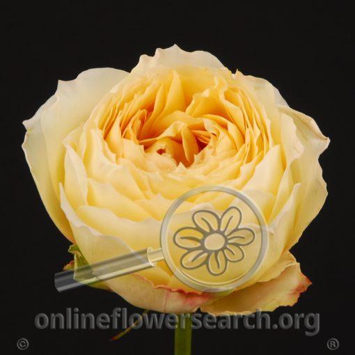 Rose Caramel Antike (Antique)