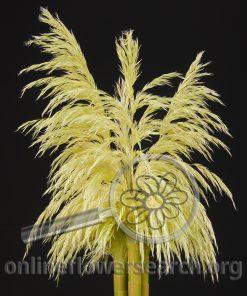Pampas Grass Plumes