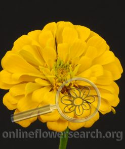 Zinnia Yellow