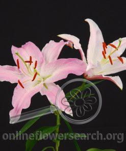 Lily Oriental Kathryn
