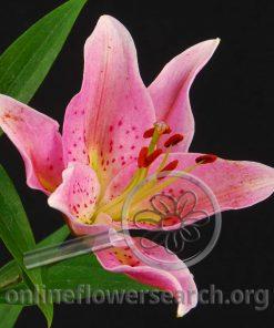 Lily Oriental Medusa