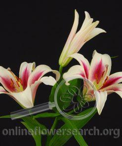 Lily Sonata Nimph