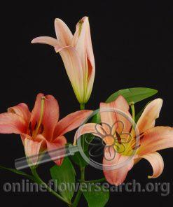 Lily Oriental Gluhwein