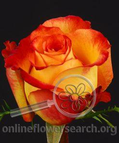Rose Alina