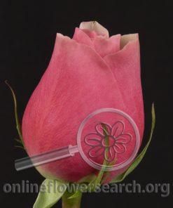 Rose Belami