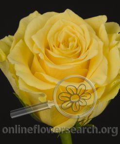 Rose Brasil