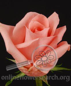 Rose Cadillac