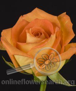 Rose Caribbean
