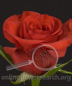 Rose Charmer