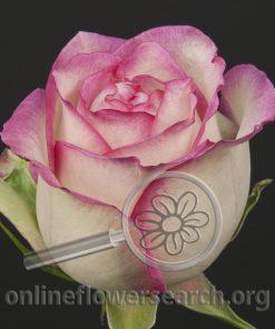 Rose Connie