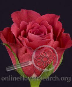 Rose Cosmiq