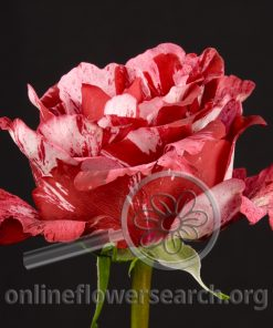 Rose Crazy One