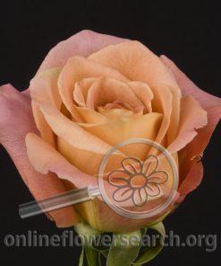 Rose Danny