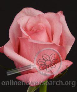 Rose Dark Engagement