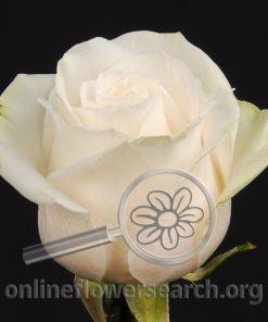 Rose Domenica