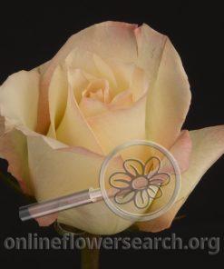 Rose Dueto