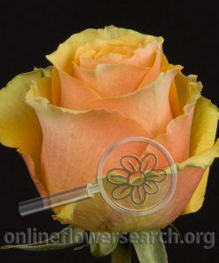 Rose Euforia