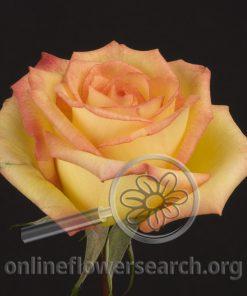 Rose Feria