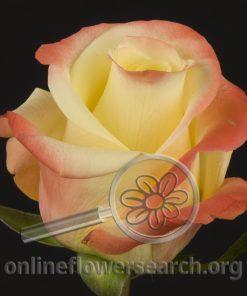 Rose Florida