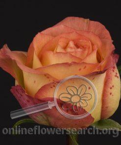 Rose Gallinda