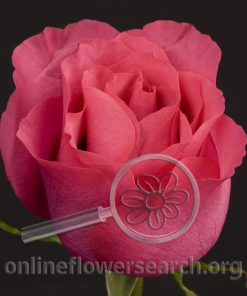 Rose High & Rich