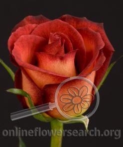 Rose Legend