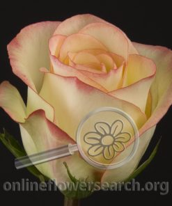Rose Malú!