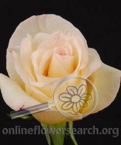 Rose Parfum de Rosas